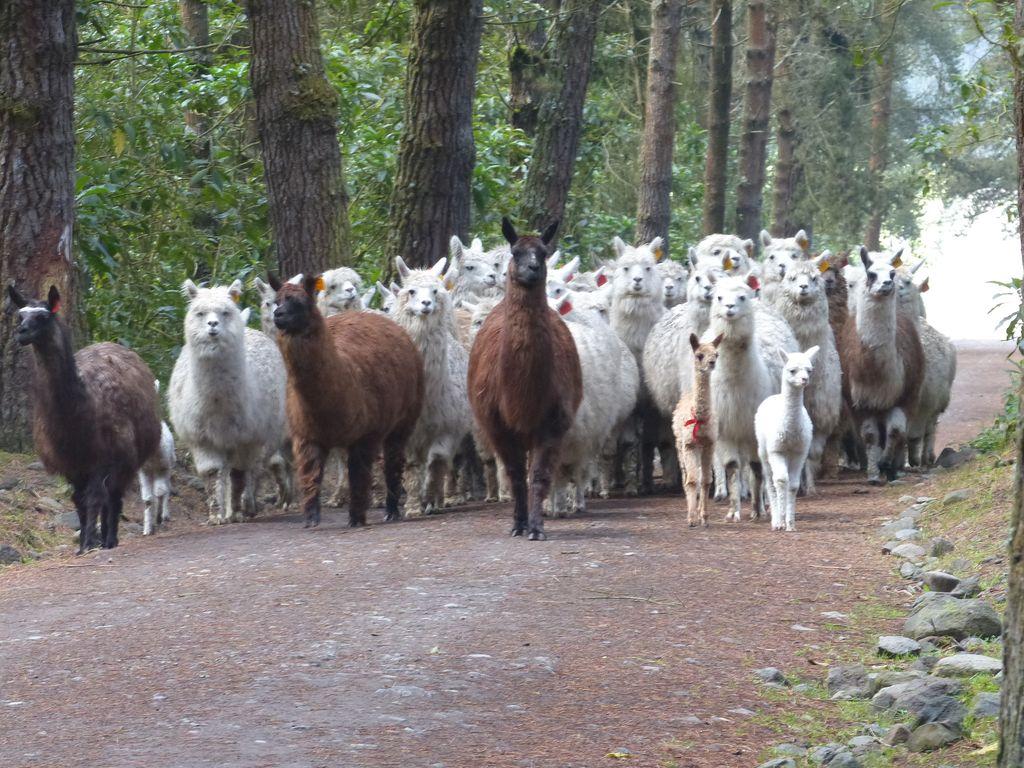Bande d'Alpagas