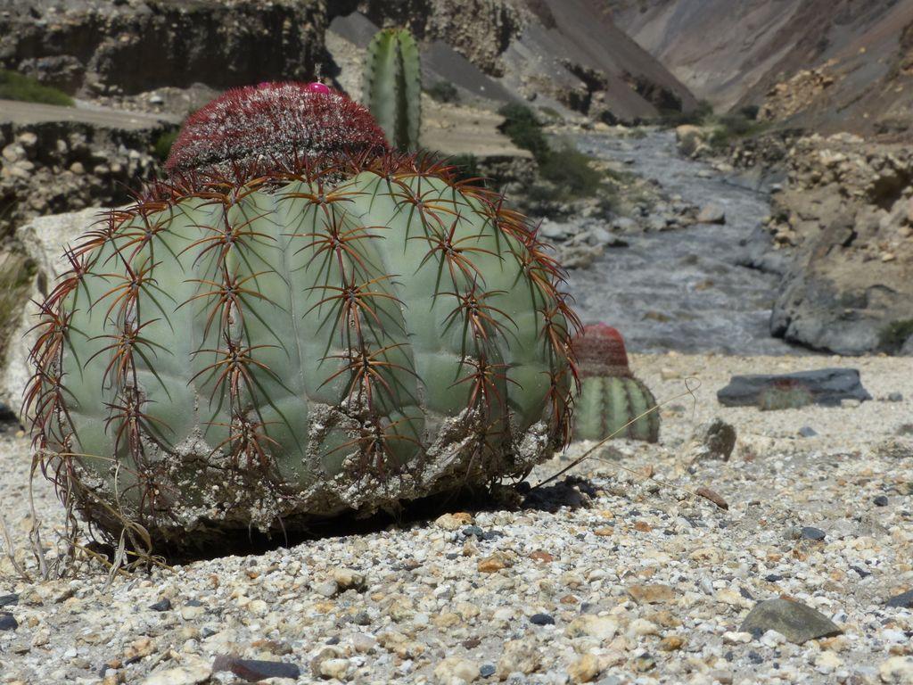 cactus bouboules !