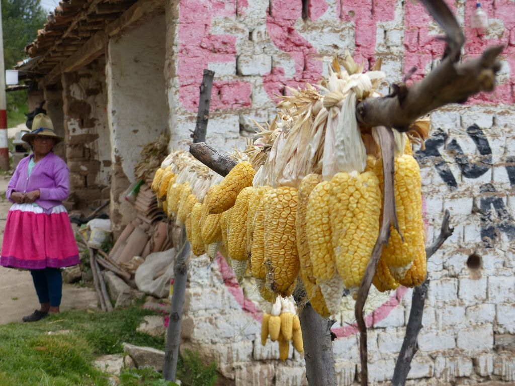 Maïs sur séchoir