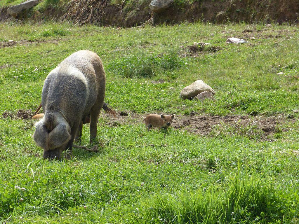 Famille cochon !