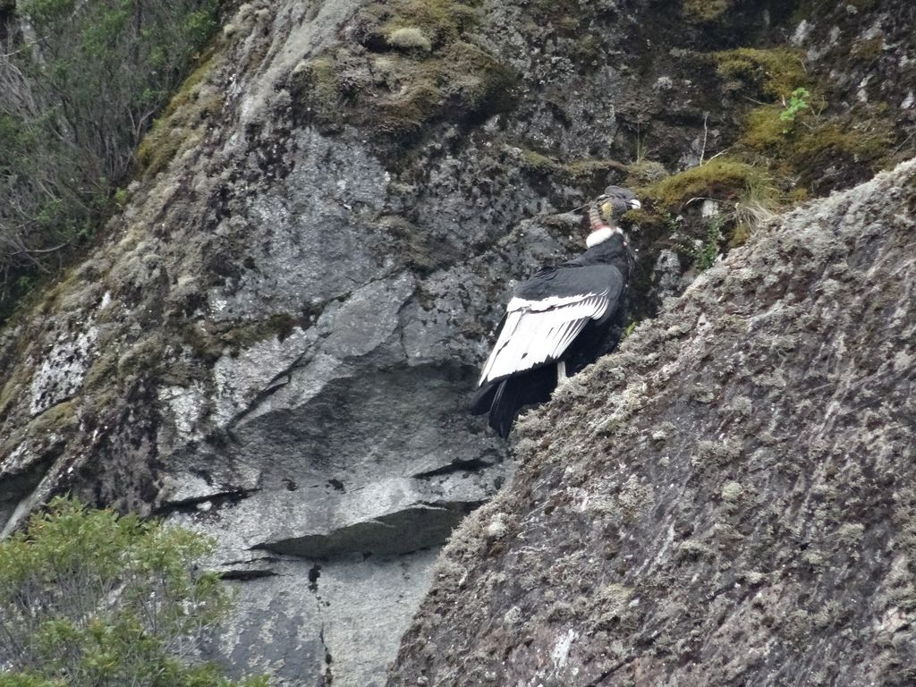 Condor perché à quelques mètres au-dessus de nos têtes