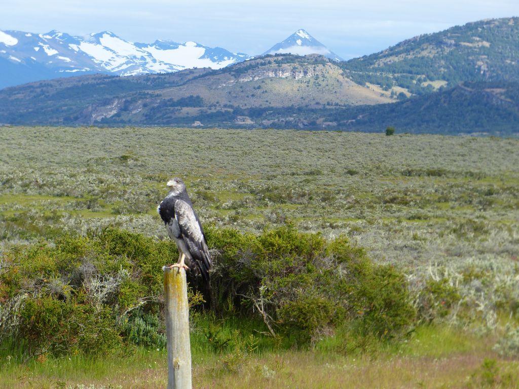 Bel aigle trônant sur la pampa