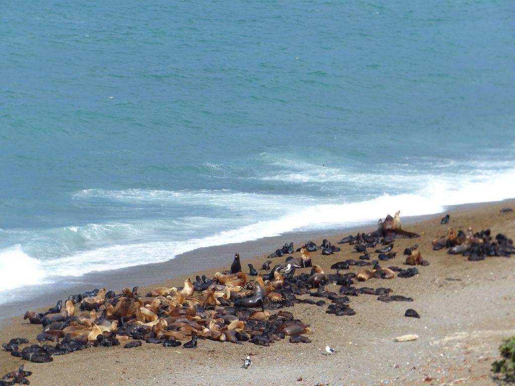 Colonies de lions de mer