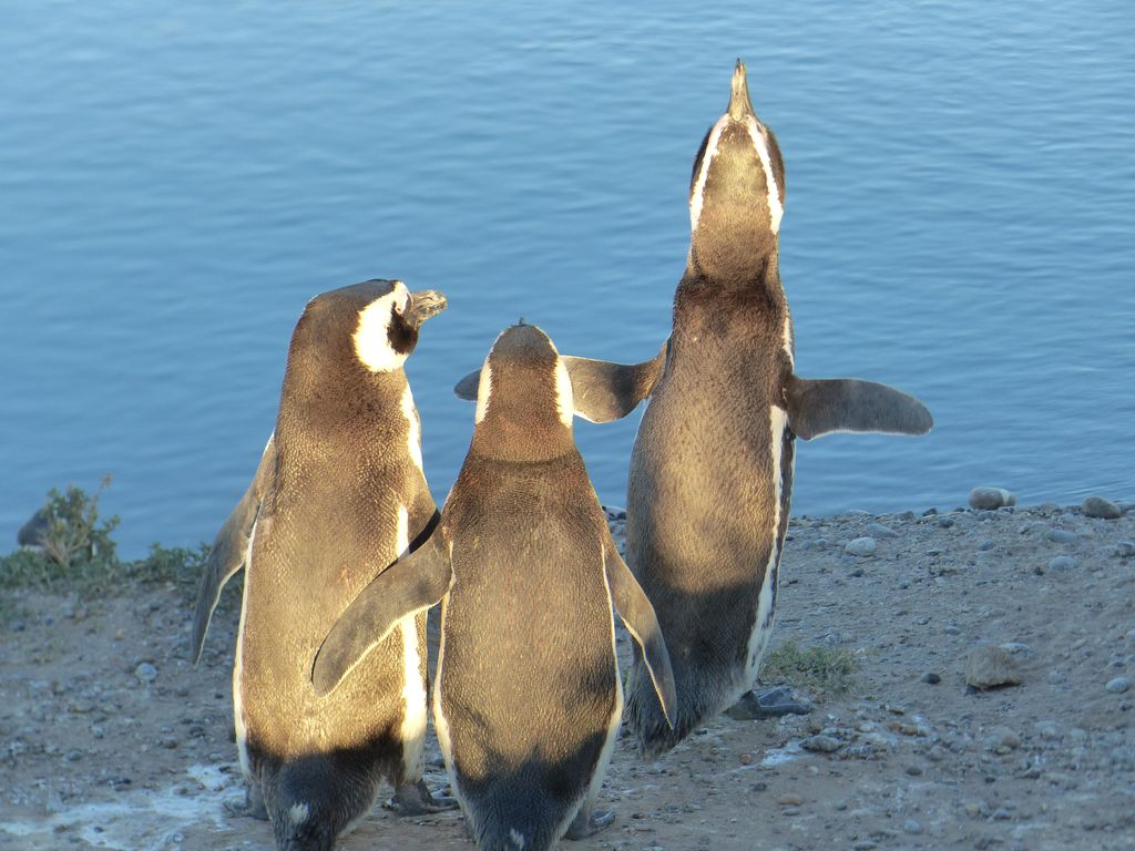Chant du pingouin et ses spectateurs